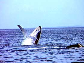 Whale Watching - Tourism Caloundra