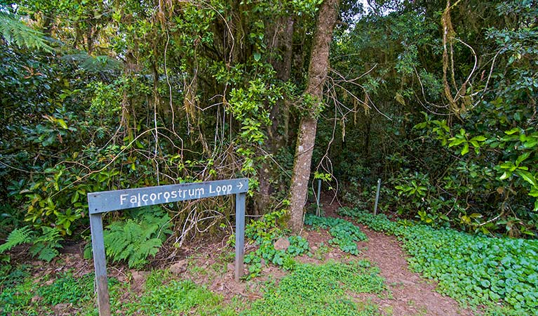 Falcorostrum loop walking track