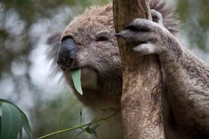 Phillip Island Koala Conservation Centre Entry ticket - Tourism Caloundra